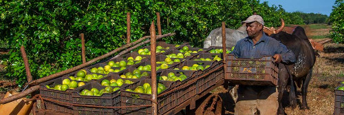 Cuban province works hard to restore its citrus plantations