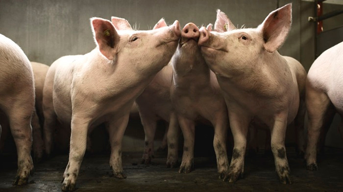 Danish and Cuban companies to set joint venture to produce pork
