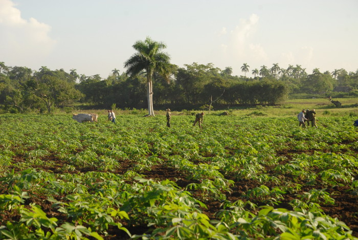 Camagüey´s farmers apply science and technique in the planting of cold