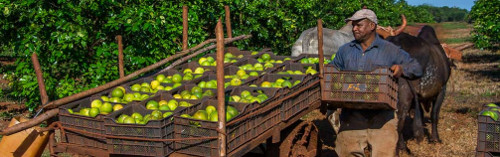 Cuba at Tropic Face to Preserve Citrus Fruits