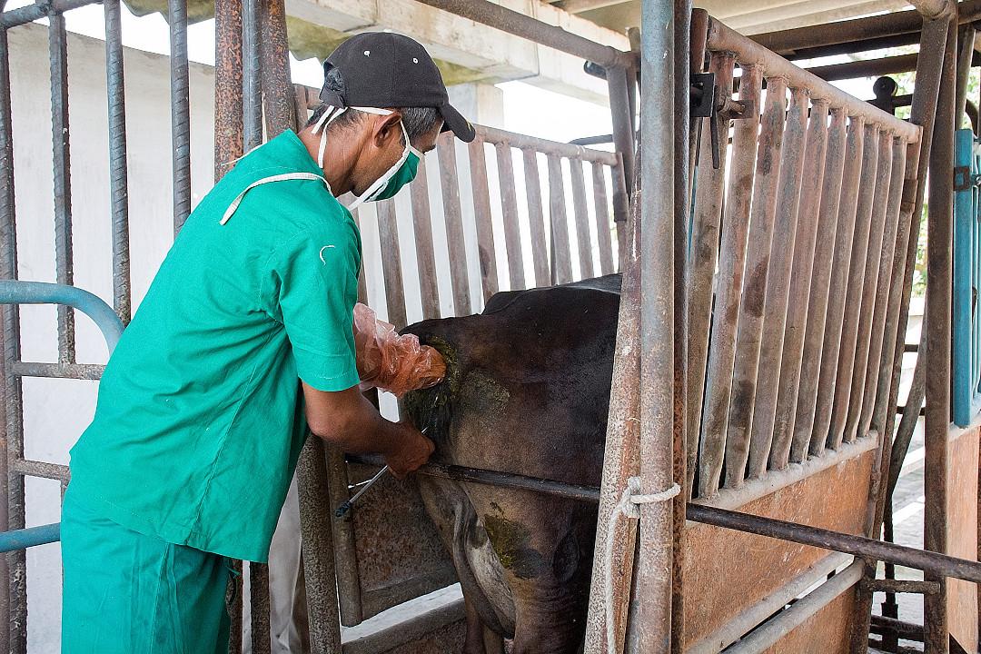 Granja genética Los Pinos, de Camagüey, con resultados loables