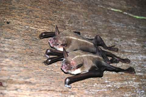 Confirman éxito reproductivo de murciélago pescador